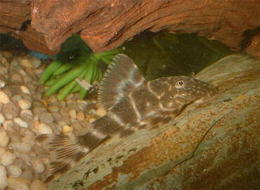 Plecostomus are one of the most popular species of algae eater.