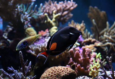 The Achilles tang is one of the most popular tang species.