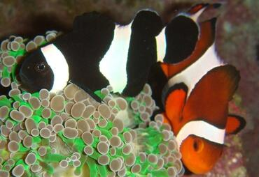 Clownfish in the Reef Aquarium