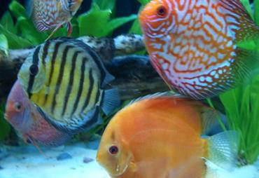 Improving Color in Aquarium Fish