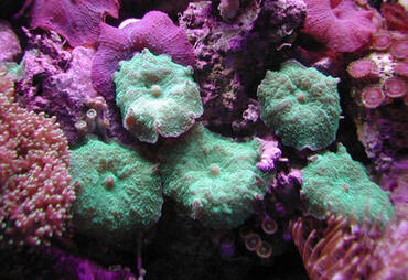 Beginner Coral Species: Low-Light Corals