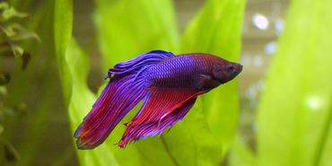 Betta Fish Trending Topics for January 2017