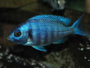 Cichlid Compatibility: February Week 2 Aquarium Trends