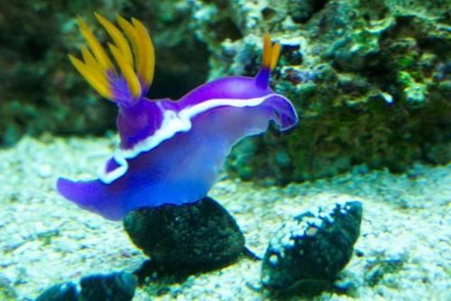 Getting rid of aiptasia in your reef aquarium for Aiptasia eating fish
