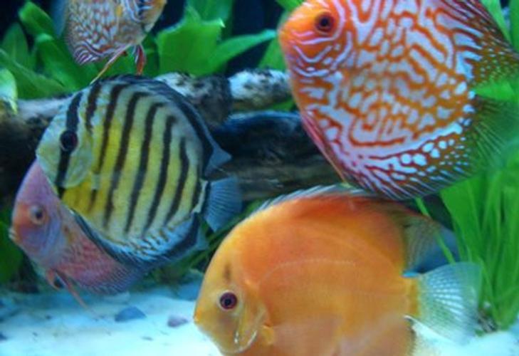 improving color in aquarium fish ratemyfishtank com rh ratemyfishtank com