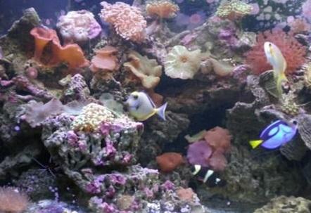 naso Tang maroon clown fish and Blue tang