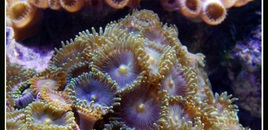 Zoas in my reef tank close