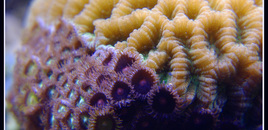 Brain coral and polips