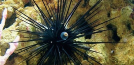 my long spine urchin