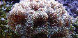 Ricordea in 125 reef