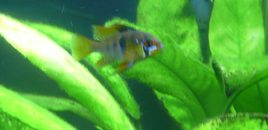 German Blue Ram 110507