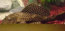 8 Pleco  Hammie is his name!!!