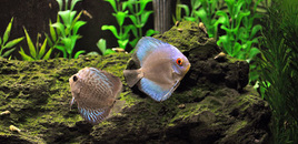 My new discus  blue diamond and a blue snakeskin