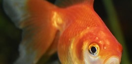 2 Fantail Goldfish