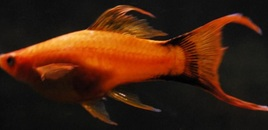 3 Orange Lyretail Marigold