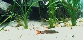Rainbow Shark juvenile