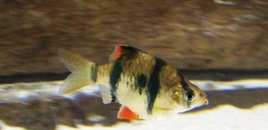 My tiger barbs are tough to photograph because they swim so dang fast!