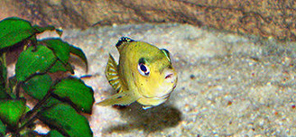 Yellow Labido  Female