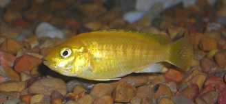 Yellow Lab Mbuna Cichlid