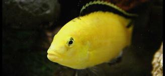 electric yellow male