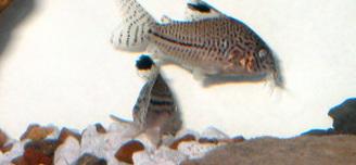 Leopard Cory Catfish Corydoras Trilineatus