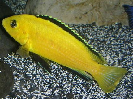 Electric Yellow Lab Labidochromis caeruleus