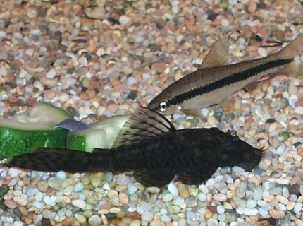 Bristlenose plec puts in a rare appearancecucumber is irresistable Siamese algae eater sniffs around