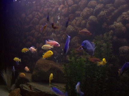 some of my Mbuna and other Malawi cichlids