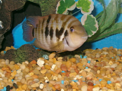 jack  my new convict cichlid 20 gallon tall