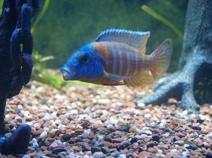 Red Rubin cichlid