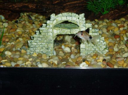 Heres my biggest Panda Corydoras and the back end of a Peppered Corydoras under the bridge