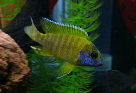 My name is Old Yeller and Im a Peachock Cichlid I love chasing other fish in the moonlight and my favorate time of the day is brekfast