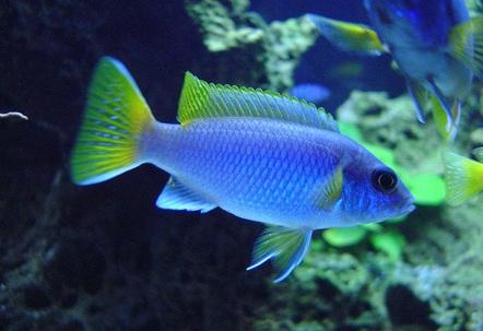 Male Pseudotropheus acei Luwala Reef
