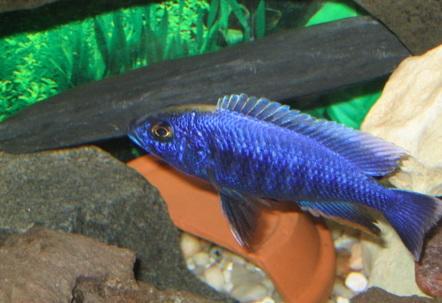 Male Haplochromis Ahli
