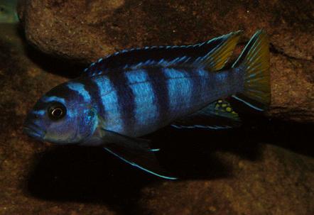 Male Pseudotropheus sp elongatus Mpanga