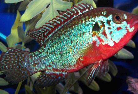 Jewel Cichlid (Hemichromis Bimaculatus) Photos ...