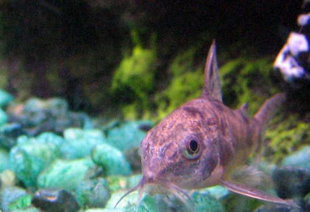 Peppered Corydora Catfish