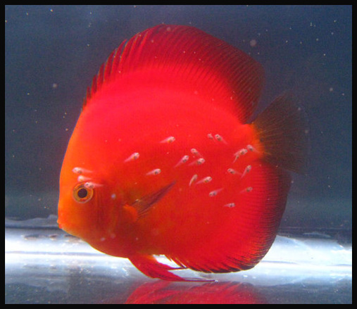 Discus Golden Melon with fry