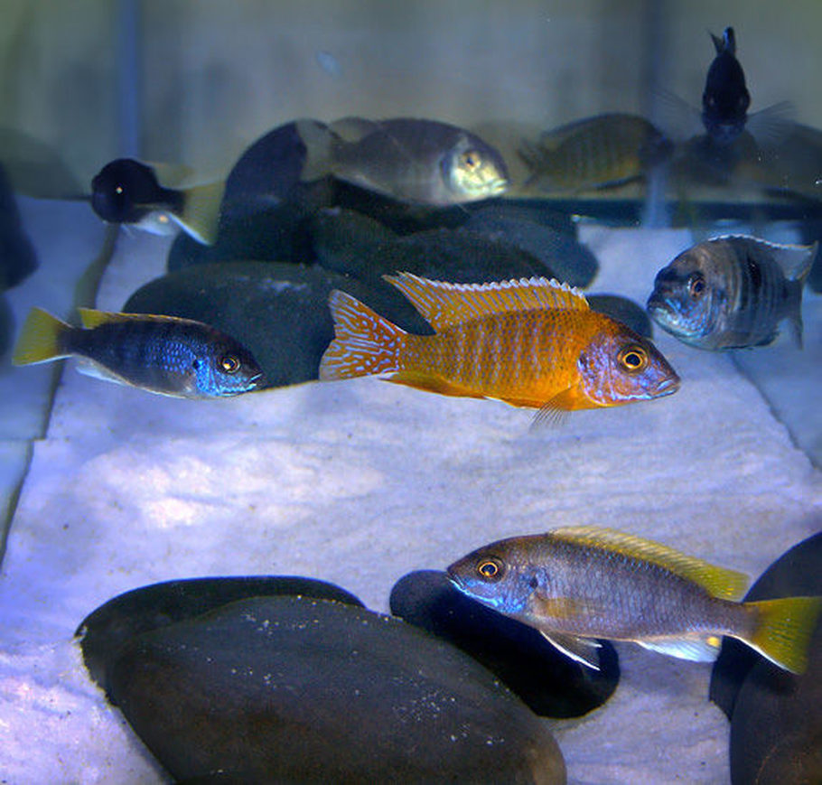 Freshwater aquarium fish massachusetts - Ajbry S Freshwater Fish Details And Photos Photo 17021 Ratemyfishtank Com
