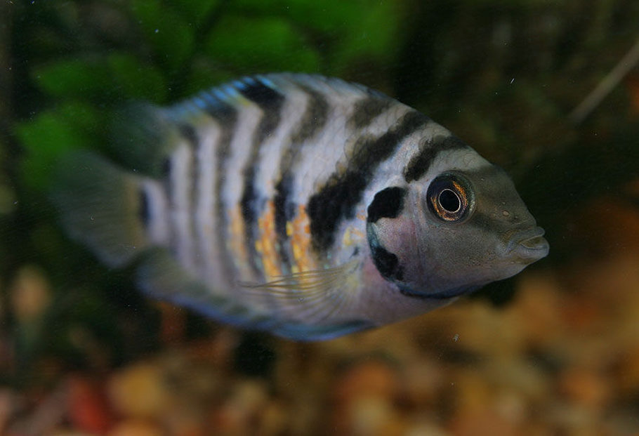 Jksmith69 39 s freshwater fish photo id 25175 full for Black and white striped fish freshwater
