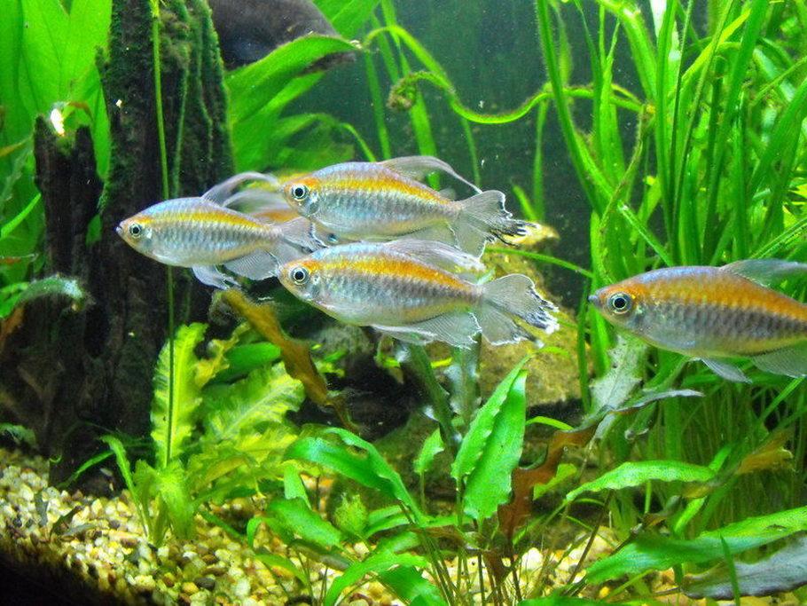 Captaincaveman 39 s freshwater fish photo id 28252 full for African rope fish