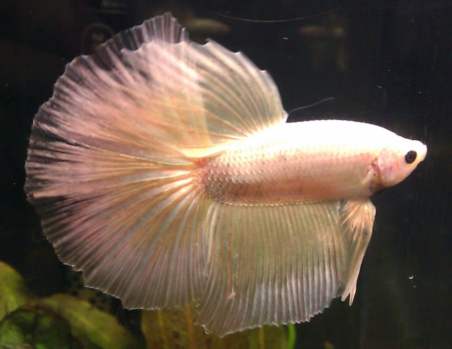 Wassily, my pretty pearlescent Delta Tail Betta.