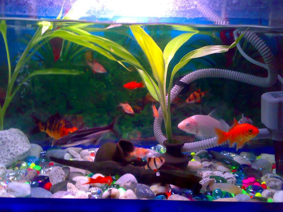 Kidders05 39 s freshwater fish photo id 26974 full for Koi fish tank setup