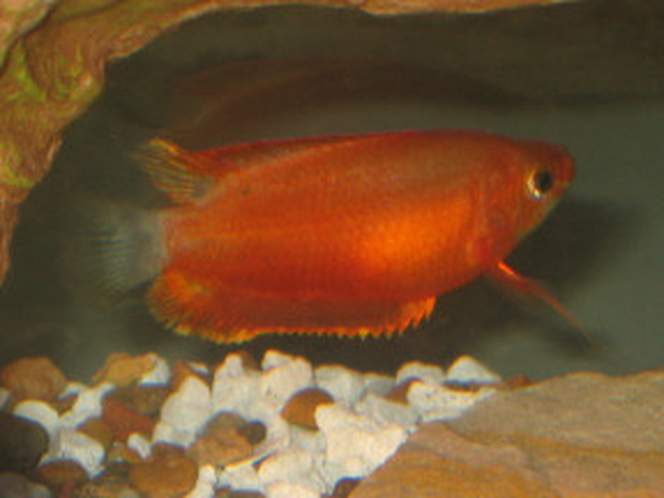 Blue Gourami (trichogaster trichopterus) Photo Picture ID 1426
