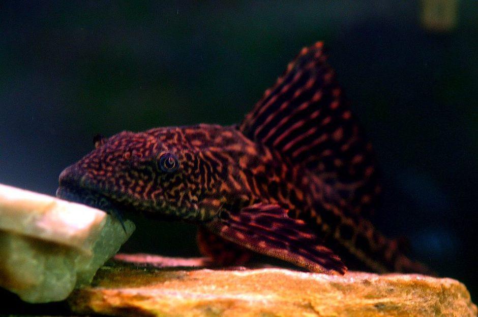 Common pleco hypostomus plecostomus photos for Freshwater sucker fish