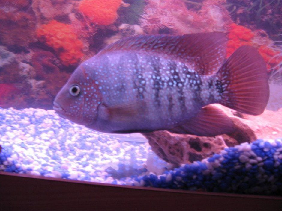 Redheaded Cichlid (Cichlasoma Synspilum) Photo Picture ID 22773