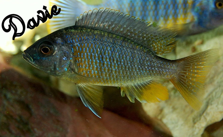 Yellowfin Borleyi Cichlid (copadichromis borleyi) Photo Picture ID 25026