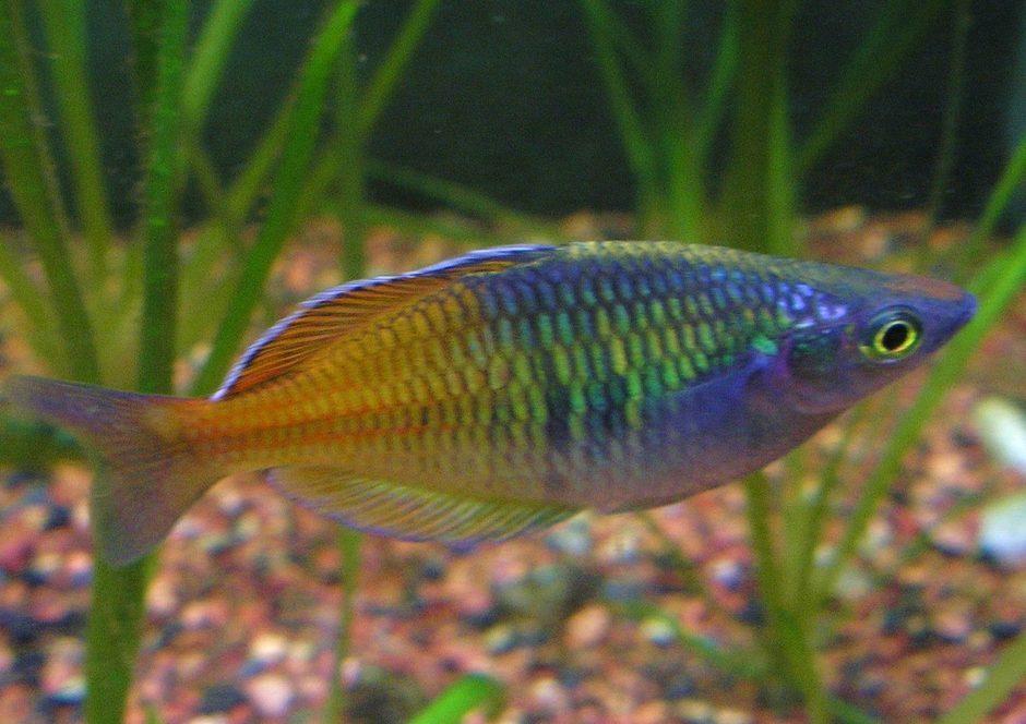Boesemani Rainbow Melanotaenia Boesemani Photos