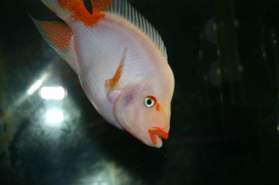 Red devil amphilophus labiatus photos for Red devil fish
