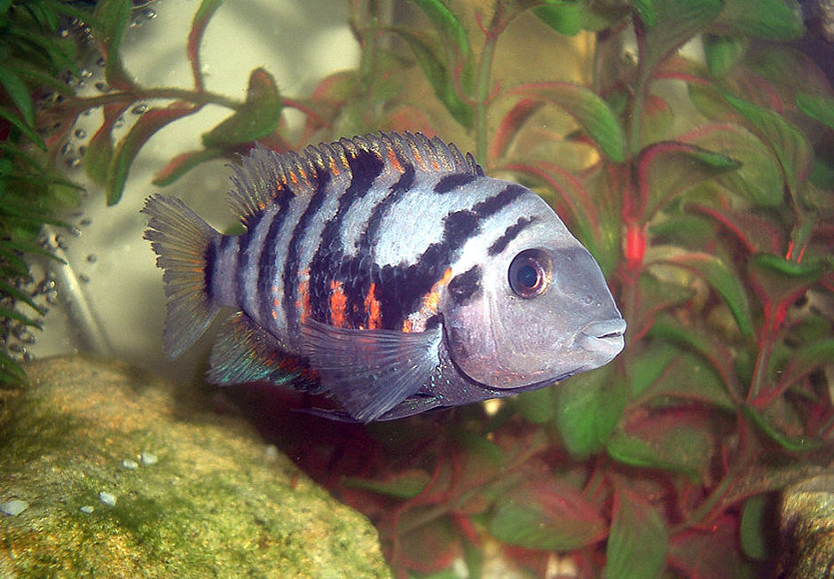 Black Convict Cichlid (archocentrus nigrofasciatus) Photo Picture ID 3449